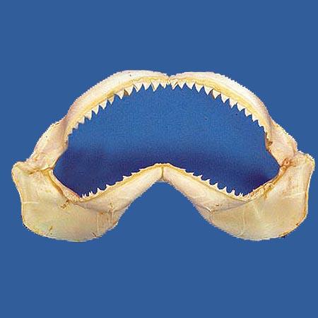 "Genuine Shark Jaw 6"""